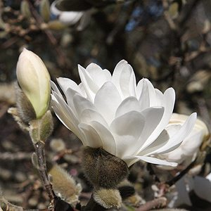 Magnolia stellata Waterlilly