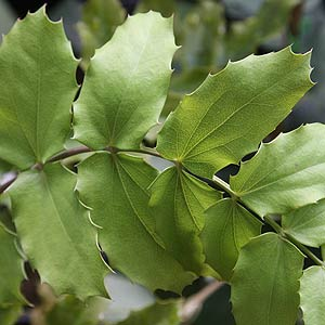 Mahonia marie - Foliage
