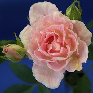 Miniature Rose 'Figurine'.