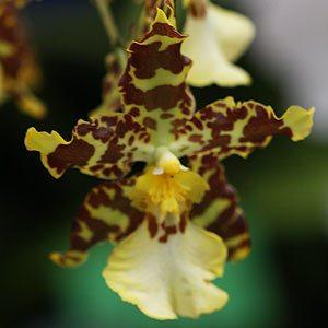 Odontoglossum Orchid