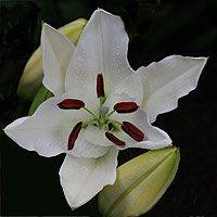 Oriental Lilium Flower