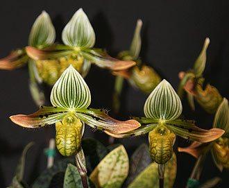 Paphiopedilum venustum Orchid 'Astrid'
