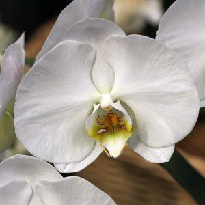 Phalaenopsis Orchid 'Formosa-Giant'