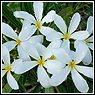 Plumeria stenophylla nana
