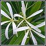 Plumeria tuberculata