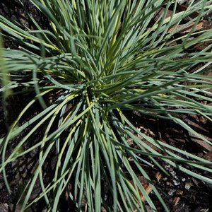 Poa sieberiana var. cyanophylla