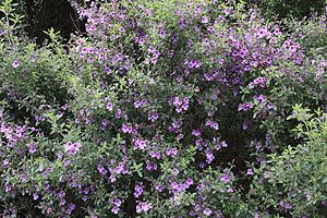 Prostanthera incisa - The Cut Leaf Mint Bush