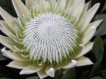 Protea-King-White
