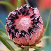 Protea 'Pink-ice'