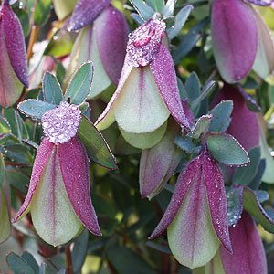 Winter Flowering Plants Nurseries Online