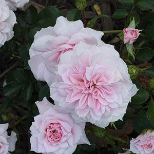Jane-McGrath-Rose-Sydney-Botanical-Gardens