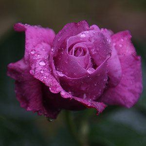 Where To Buy Rose Bushes Online