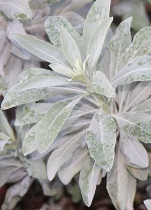 Salvia apiana 'White Sage'