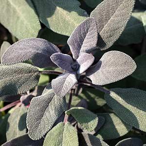 Salvia purpurea - The Purple Sage