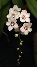 Sarcochilus Orchid