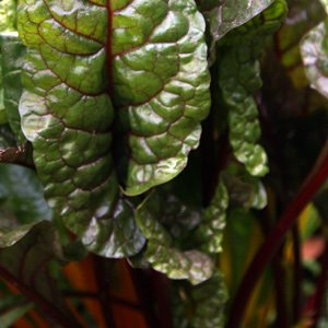 Silverbeet 'Red Chard'