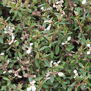 Spyridium vexilliferum