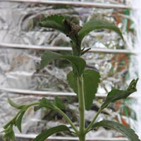 Stevia rebaudiana or 'Sugar Plant'