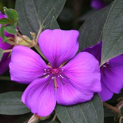 Tibouchina grandiflora 'Purple Glory Shrub'