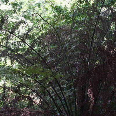 Tree Fern Burnt by Sun