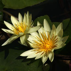 Yellow Flowering Waterlily