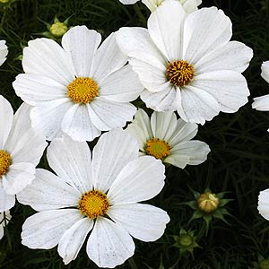 Cosmos Flowers And Plants And Seeds Nurseriesonline