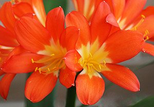 Yellow throated Orange Clivia