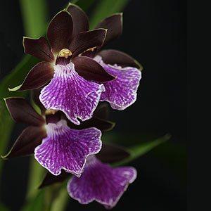 Zygopetalum Orchid 'Aurter elle'