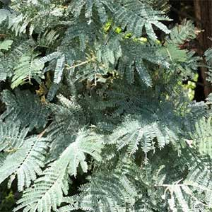 Acacia dealbata - The Silver Wattle