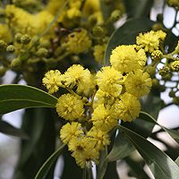 Acacia pycnatha or 'Golden WAttle'