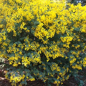Acacia Or Wattle Trees For Sale Nurseries Online