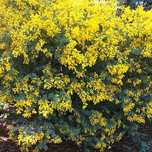 Acacia species