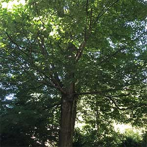Acer saccharum - The Sugar Maple Tree