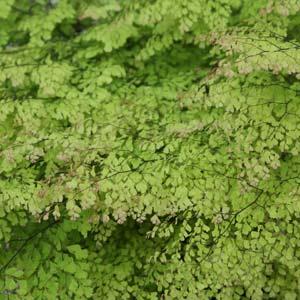 Fine Leafed Maidenhair Ferns- adiantum gracillimum