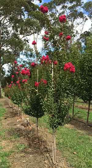 Advanced Crepe Myrtle Tree - Blerwick Tree Farm