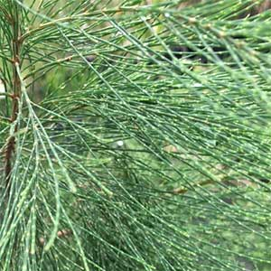 Allocasuarina littoralis - Black She Oak, Foliage
