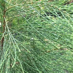 Allocasuarina littoralis - Black She Oak, Foliage