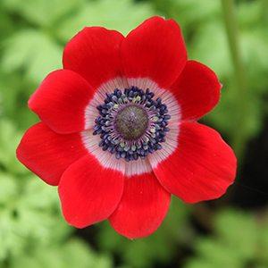 Anemone coronaria - Red Flowering