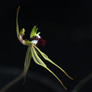 Caladenia phaeoclavia - Brown-clubbed Spider Orchid