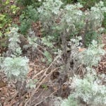 Artemisia Before Pruning