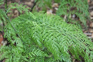 Asplenium bulbiferum fern foliage