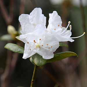 White Azalea (Indica type)