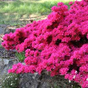 Azalea varieties in the garden