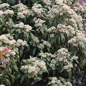 backhousia- citriodora 'lemon scented myrtle'