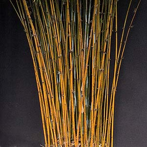 Bamboo for Landscaping