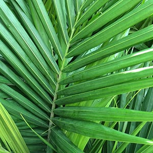 Bangalow Palm Foliage