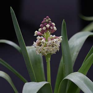 Bellavalia pycnantha
