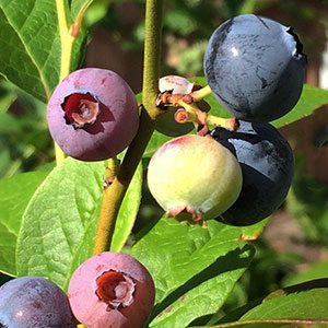 Blueberry Plant with Fruit