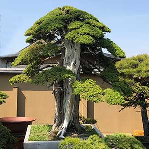 Bonsai Tree in Pot