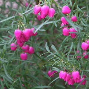 Pink Flowering Boronia Plant